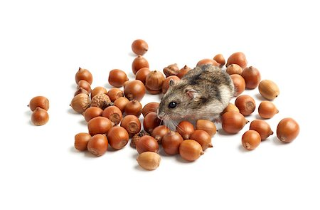 hamster sits surrounded by acorns on white background Stock Photo - Budget Royalty-Free & Subscription, Code: 400-07217356