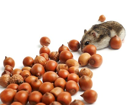 hamster sits surrounded by acorns on white background Stock Photo - Budget Royalty-Free & Subscription, Code: 400-07217357