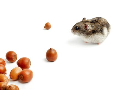 hamster sits surrounded by acorns on white background Stock Photo - Budget Royalty-Free & Subscription, Code: 400-07217358