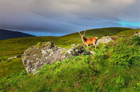 deer hunt - Young deer in the meadow at Scottish highlands, Scotland, United Kingdom Stock Photo - Budget Royalty-Free & Subscription, Code: 400-07219251