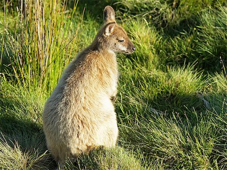 Bennett Wallaby, Cradle Mountain National Park, Tasmania, Australia Stock Photo - Budget Royalty-Free & Subscription, Code: 400-07244130