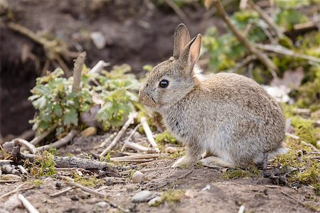 Wild baby European rabbit Oryctolagus cuniculus outside a burrow of a rabbit warren Stock Photo - Budget Royalty-Free & Subscription, Code: 400-07245540