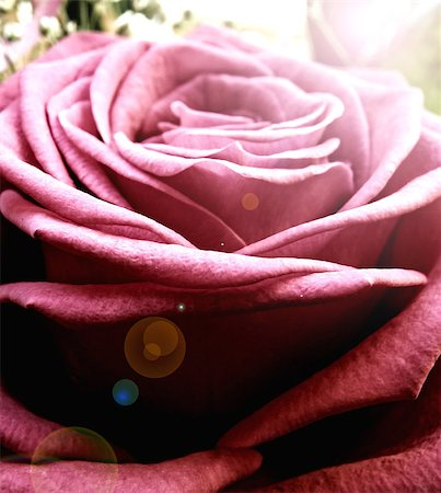 dozen roses - Macro closeup detail of pink rose. Flower. Summer time. Stock Photo - Budget Royalty-Free & Subscription, Code: 400-07246673