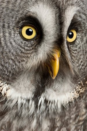 Great Grey Owl or Lapland Owl (Strix nebulosa) is a very large owl, Stock Photo - Budget Royalty-Free & Subscription, Code: 400-07253356