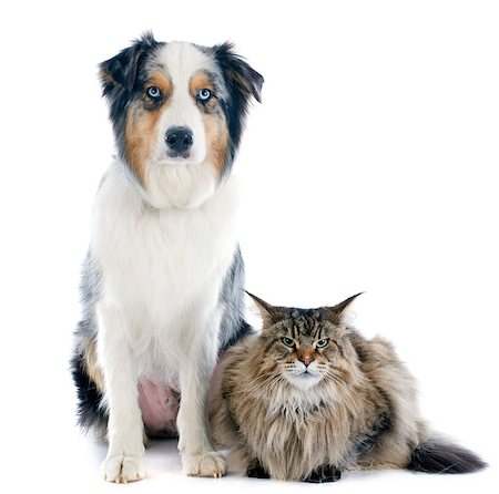purebred australian shepherd and maine coon in front of white background Stock Photo - Budget Royalty-Free & Subscription, Code: 400-07294120