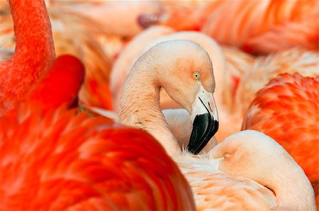 A shot of the head of a flamingo. Stock Photo - Budget Royalty-Free & Subscription, Code: 400-07302789