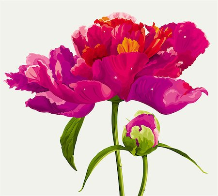 peony illustrations - Luxurious red peony flower and the bud painted in bright colors Stock Photo - Budget Royalty-Free & Subscription, Code: 400-07317304