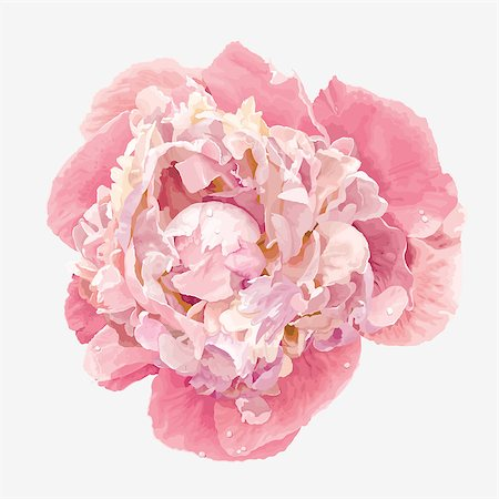 peony in vector - Luxurious pink peony flower painted in pastel colors Stock Photo - Budget Royalty-Free & Subscription, Code: 400-07317303