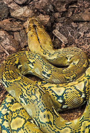 snake skin - Snake creeps on the earth. Close up Stock Photo - Budget Royalty-Free & Subscription, Code: 400-07318986