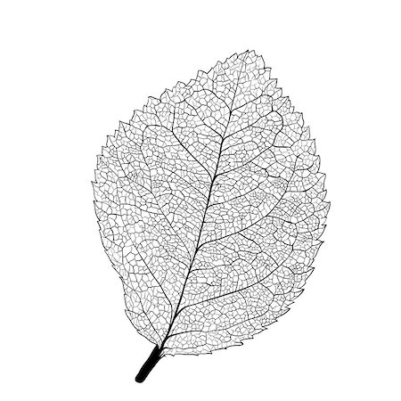Leaf skeleton on white background Stock Photo - Budget Royalty-Free & Subscription, Code: 400-07312088