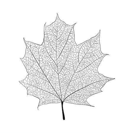 Leaf skeleton on white background Stock Photo - Budget Royalty-Free & Subscription, Code: 400-07312089