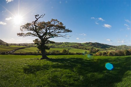 The English tree stand alone in the countryside Stock Photo - Budget Royalty-Free & Subscription, Code: 400-07313321