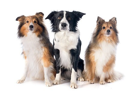sheltie - portrait of purebred border collie and shetland sheepdogs in front of white background Stock Photo - Budget Royalty-Free & Subscription, Code: 400-07326897