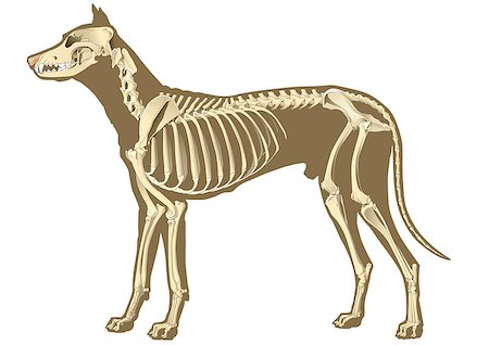 dog x-ray - dog skeleton section with bones x-ray Stock Photo - Budget Royalty-Free & Subscription, Code: 400-07321124