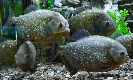 piranha fish - piranha fish Stock Photo - Budget Royalty-Free & Subscription, Code: 400-07330559