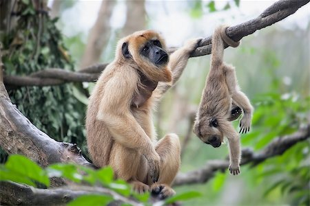 Mother Howler Monkey Sitting on a Tree Branch with Baby Monkey Hanging Upside Down Stock Photo - Budget Royalty-Free & Subscription, Code: 400-07418962