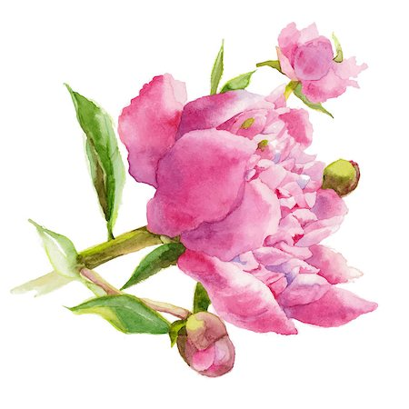peony design vector - Pink peony. Watercolor. Vector illustration. Stock Photo - Budget Royalty-Free & Subscription, Code: 400-07411647