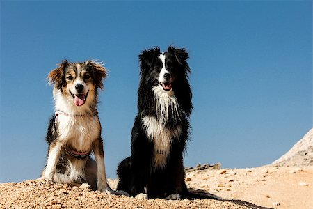 sheltie - Two dogs sitting on the top of the mountain - Friendship Stock Photo - Budget Royalty-Free & Subscription, Code: 400-07429362