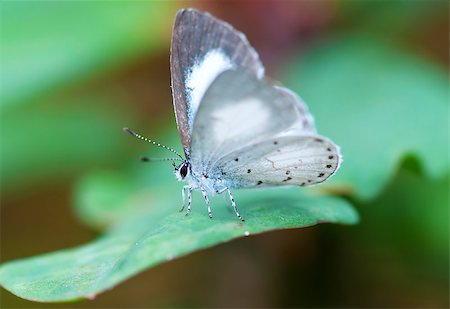 Close up shot of spring azure butterfly Stock Photo - Budget Royalty-Free & Subscription, Code: 400-07421983