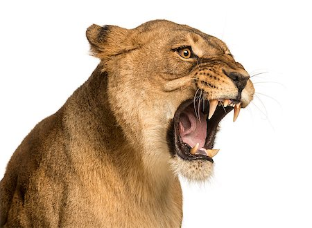 roar lion head picture - Close-up of a Lioness roaring, Panthera leo, 10 years old, isolated on white Stock Photo - Budget Royalty-Free & Subscription, Code: 400-07463438