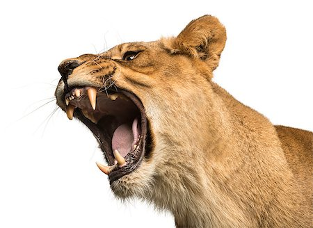 roar lion head picture - Close-up of a Lioness roaring, Panthera leo, 10 years old, isolated on white Stock Photo - Budget Royalty-Free & Subscription, Code: 400-07463431