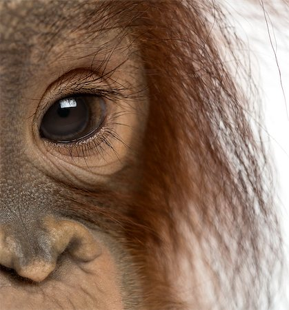 Close-up of a young Bornean orangutan's eye, Pongo pygmaeus, 18 months old, isolated on white Stock Photo - Budget Royalty-Free & Subscription, Code: 400-07463840
