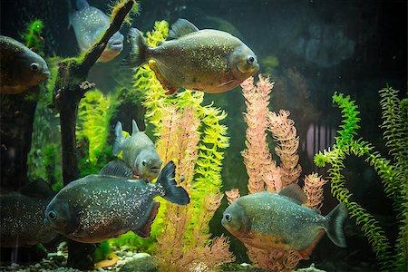 piranha fish - Shoal of tropical piranha fishes in freshwater aquarium Stock Photo - Budget Royalty-Free & Subscription, Code: 400-07470704