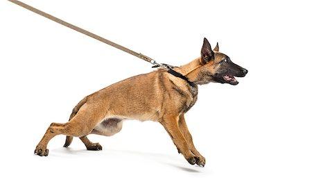 Belgian Shepherd leashed Stock Photo - Budget Royalty-Free & Subscription, Code: 400-07471434