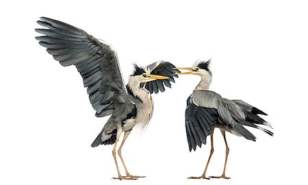 people mating - Two Grey Herons flapping Stock Photo - Budget Royalty-Free & Subscription, Code: 400-07471894