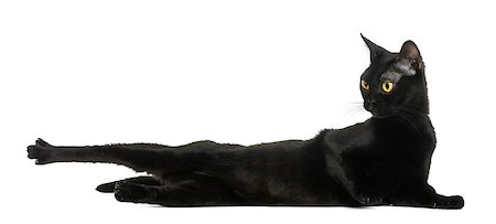 Bombay cat lying, stretching and looking away, isolated on white Stock Photo - Budget Royalty-Free & Subscription, Code: 400-07472350