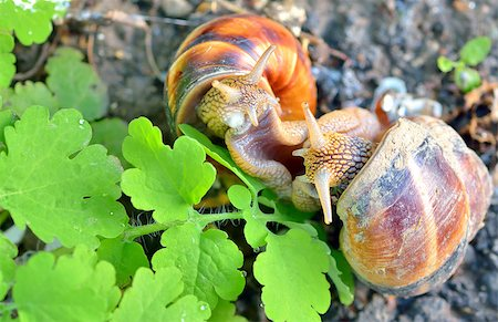 people mating - love snails in spring time Stock Photo - Budget Royalty-Free & Subscription, Code: 400-07486403