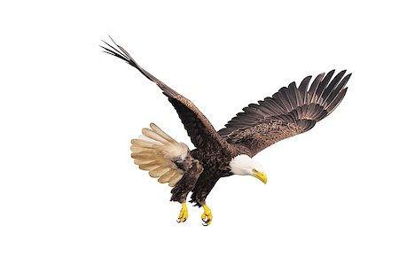 simsearch:400-04399778,k - Bald eagle isolated on white background. Stock Photo - Budget Royalty-Free & Subscription, Code: 400-07482584