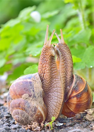 people mating - love snails in spring time Stock Photo - Budget Royalty-Free & Subscription, Code: 400-07482952