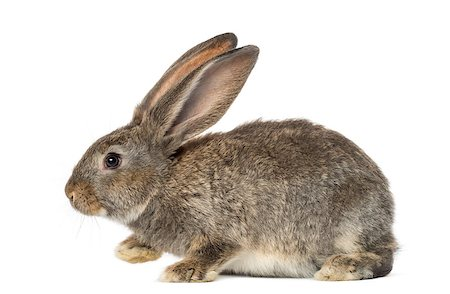 Rabbit, isolated on white Stock Photo - Budget Royalty-Free & Subscription, Code: 400-07505001