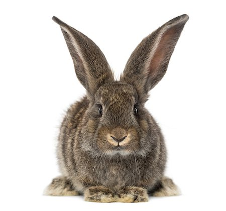 front view of a Rabbit, isolated on white Stock Photo - Budget Royalty-Free & Subscription, Code: 400-07505011