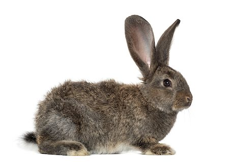 Rabbit, isolated on white Stock Photo - Budget Royalty-Free & Subscription, Code: 400-07505012