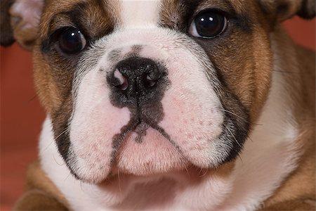 english bulldog puppy close up - 10 weeks old Stock Photo - Budget Royalty-Free & Subscription, Code: 400-07505849