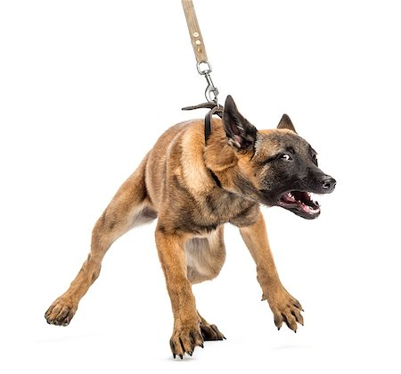 Belgian Shepherd leashed and aggressive Stock Photo - Budget Royalty-Free & Subscription, Code: 400-07500559