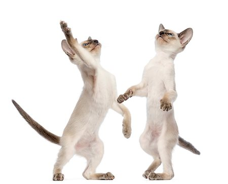 Two Oriental Shorthair kittens (9 weeks old) standing on hind legs and trying to reach or catch Stock Photo - Budget Royalty-Free & Subscription, Code: 400-07500762