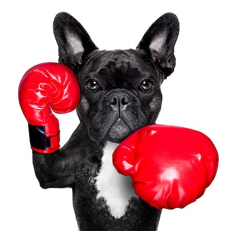 french bulldog boxing dog with big red gloves Stock Photo - Budget Royalty-Free & Subscription, Code: 400-07513706