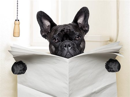 french bulldog  sitting on toilet and reading newspaper Stock Photo - Budget Royalty-Free & Subscription, Code: 400-07513702