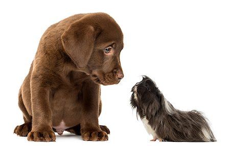 guinea pig looking at a Labrador Retriever Puppy Stock Photo - Budget Royalty-Free & Subscription, Code: 400-07544534