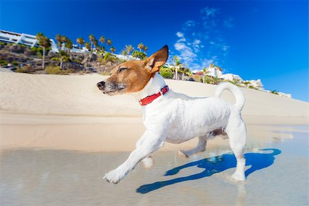 dog in heat - dog having fun running on the beach on summer vacation holidays Stock Photo - Budget Royalty-Free & Subscription, Code: 400-07576490