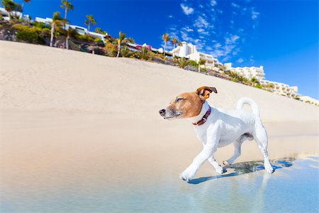 dog in heat - dog having fun running on the beach on summer vacation holidays Stock Photo - Budget Royalty-Free & Subscription, Code: 400-07576491