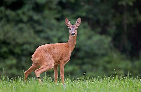 deer hunt - Roe deer in a grass Stock Photo - Budget Royalty-Free & Subscription, Code: 400-07580206