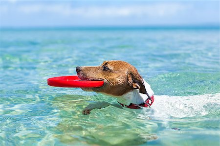 dog in heat - dog catching a red frisbee and swimming in water Stock Photo - Budget Royalty-Free & Subscription, Code: 400-07580391