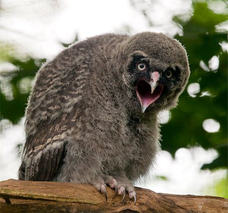 A young great grey owl sitting on the branch Stock Photo - Budget Royalty-Free & Subscription, Code: 400-07624387