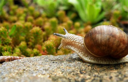 Closeup detail of snail on stone in garden Stock Photo - Budget Royalty-Free & Subscription, Code: 400-07621314