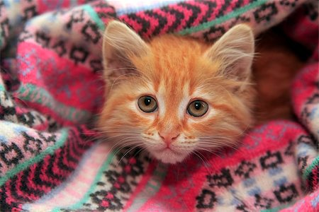 Little red kitten lies in knit sweater Stock Photo - Budget Royalty-Free & Subscription, Code: 400-07675758