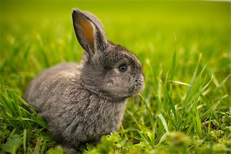 small rabbit on field Stock Photo - Budget Royalty-Free & Subscription, Code: 400-07676700
